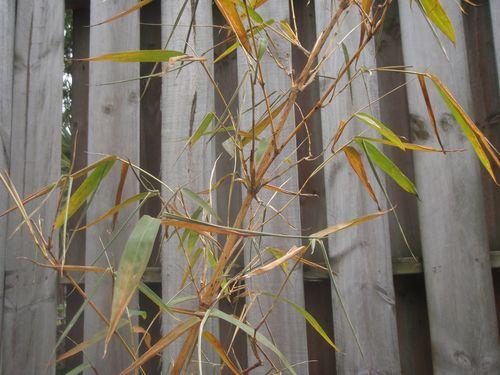 Bamboo 010