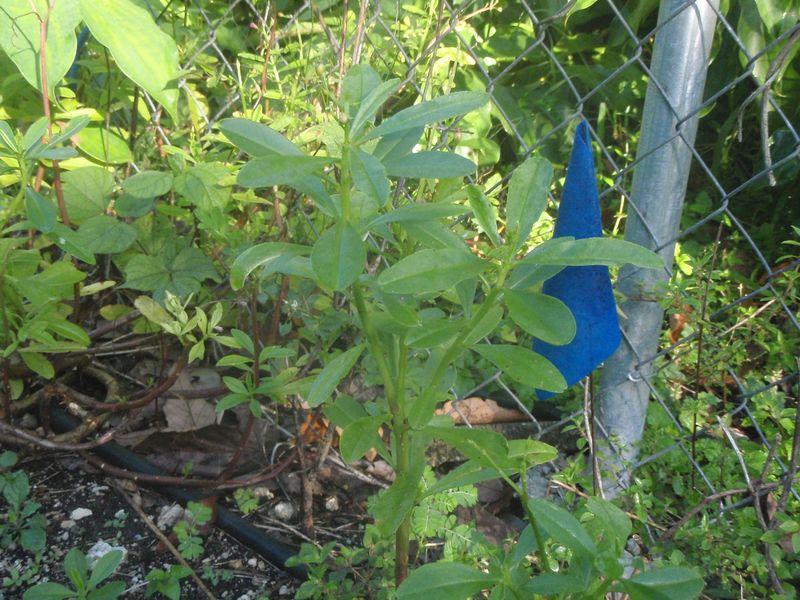 Nigerian spinach (2)